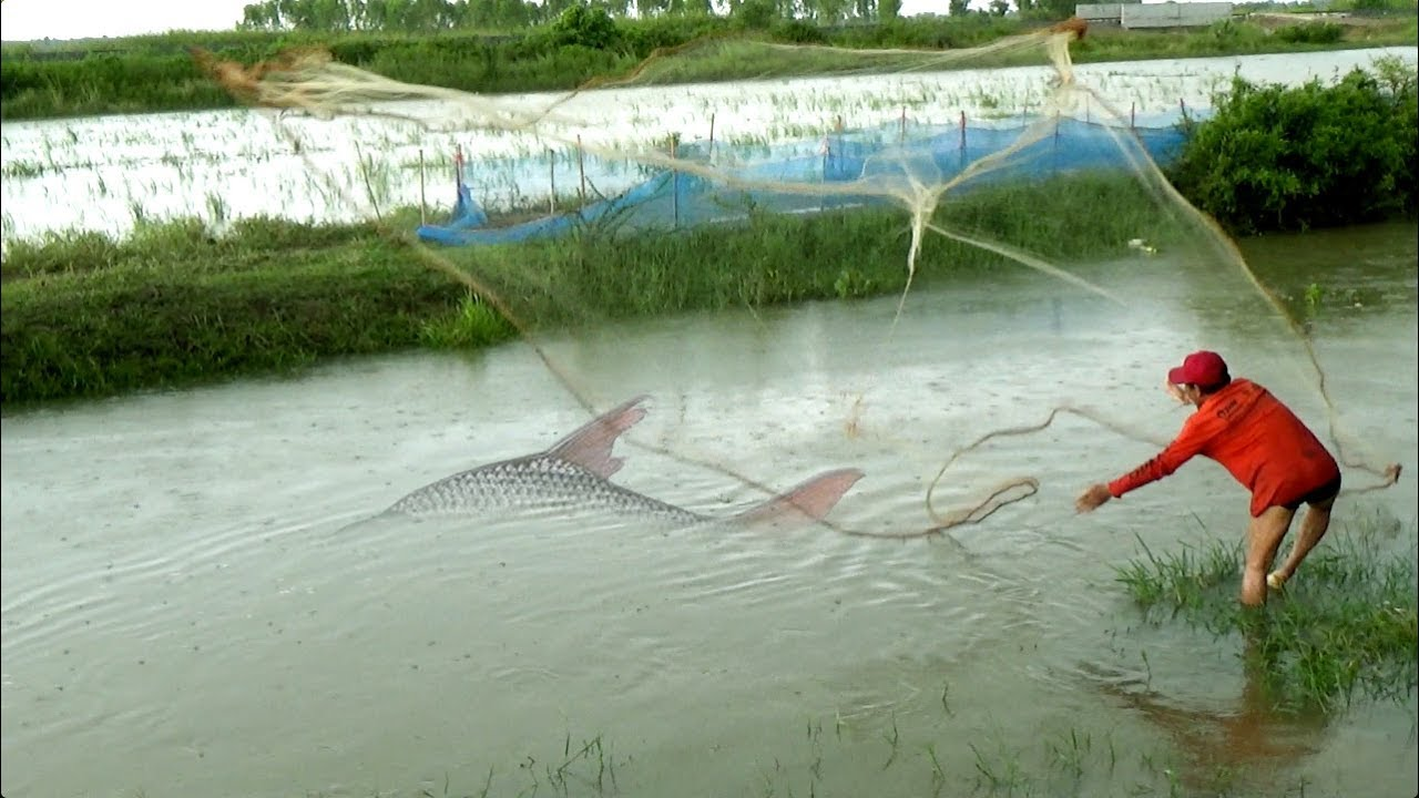 Rural net fishing casting net and catch lots of fish by for Lot of fish